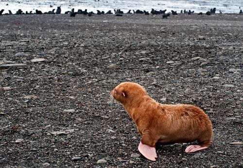 Albino Seal