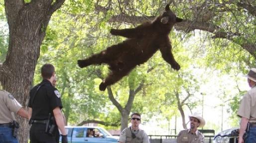 falling-bear